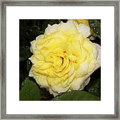 Yellow Rose Framed Print by Ralph Jones