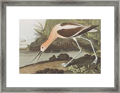 American Avocet  Framed Print by John James Audubon