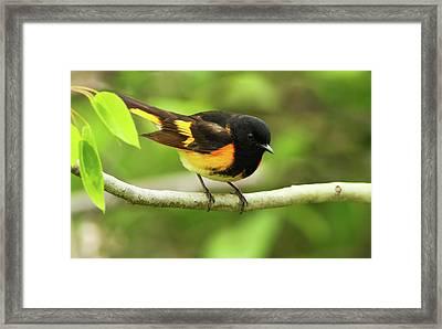 American Redstart Warbler Framed Print by Mircea Costina Photography