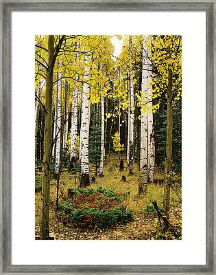 Aspen Grove In Upper Red River Valley Framed Print