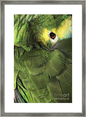 Bluefronted Amazon Parrot Framed Print