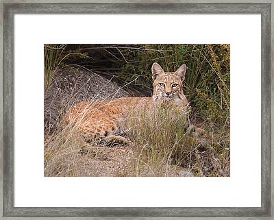 Bobcat At Rest Framed Print