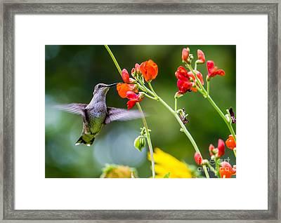 Broad-tailed Hummingbird 4 - Utah Framed Print