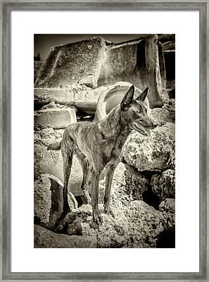 Brock Dutch Shepard  Framed Print by Scott Mullin