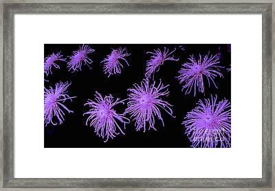 Chrysanthemums In Purple Framed Print by Jeannie Rhode