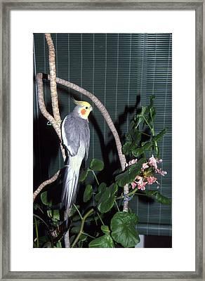 Cockatiel Named Pete Framed Print