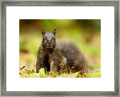 Curious Black Squirrel Framed Print by Mircea Costina Photography