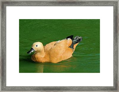 Duck In Green Water Framed Print