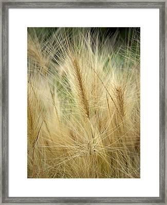 Foxtail Barley Framed Print