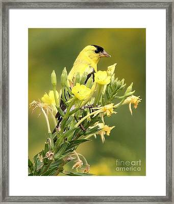 Framed Print featuring the photograph  Goldfinch by Debbie Stahre