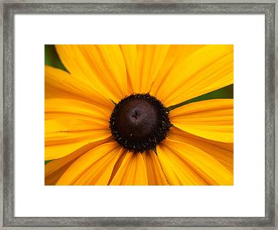 Goldilocks Gloriosa Daisy 2 Framed Print