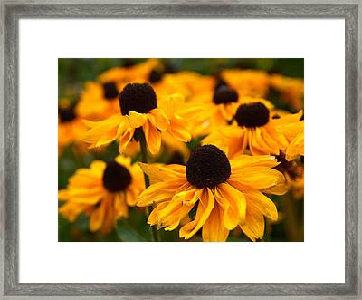 Goldilocks Gloriosa Daisy Framed Print