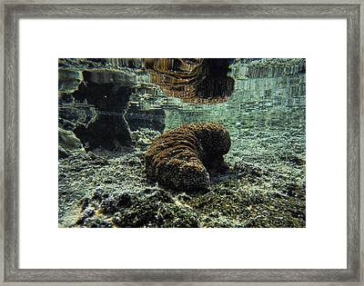 Hawaiian Sea Cucumber Framed Print by Pamela Walton