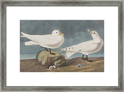Ivory Gull Framed Print by John James Audubon