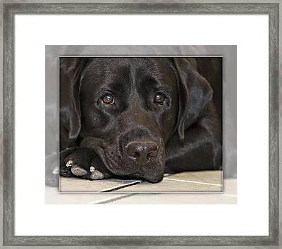 Labrador Retriever A1a Framed Print