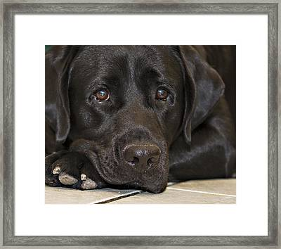 Labrador Retriever A1b Framed Print