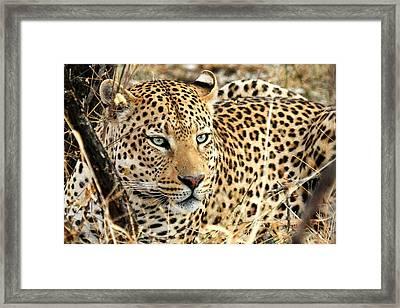 Leopard Eyes Framed Print by Tom Cheatham
