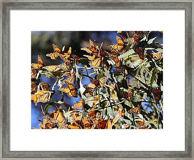 Monarch Cluster Framed Print