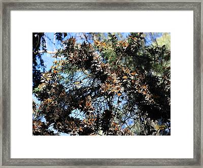 Monarch Large Cluster Framed Print