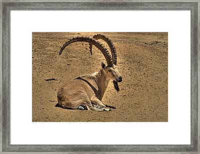 Nubian Ibex Framed Print by Alexander Rozinov