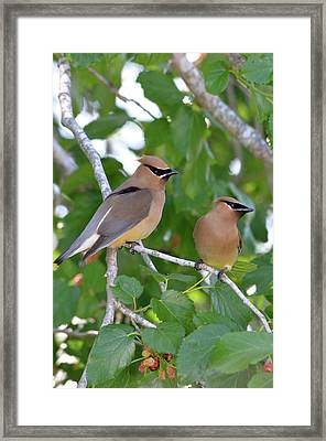 Pair Of Cedar Waxwings Framed Print by Kathy Gibbons