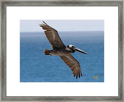 Pelican Flying Wings Outstretched Framed Print