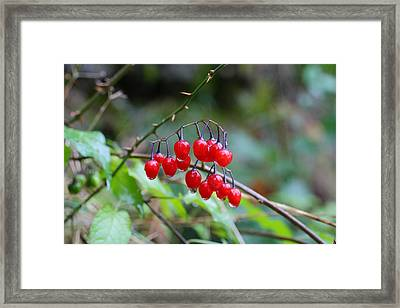 Poisonous Red Berries Of Woody Nightshade Framed Print