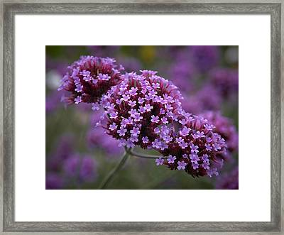 Purpletop Vervain Framed Print