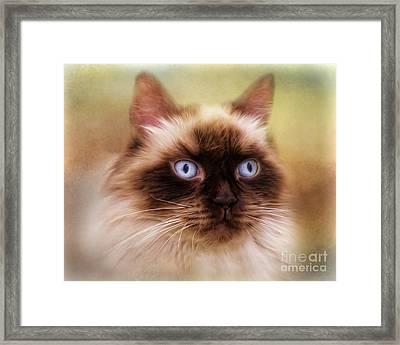 Framed Print featuring the digital art  Ragdoll Cat by Trudi Simmonds