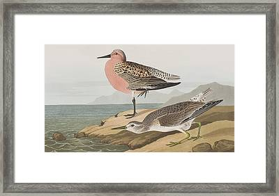 Red-breasted Sandpiper  Framed Print