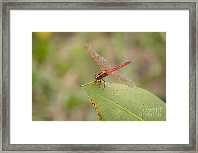 Red Flame Dragonfly Framed Print by David Grant