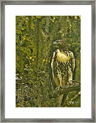 Red-tail Posing Framed Print by Phill Doherty