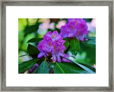 Rhodendron After Rain Framed Print by Beth Deitrick