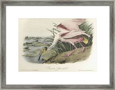 Roseate Spoonbill. Male Framed Print by MotionAge Designs