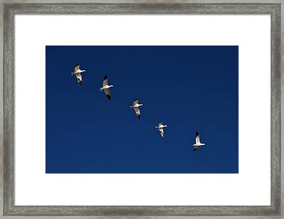 Snow Geese Formation Framed Print by Tom Cheatham
