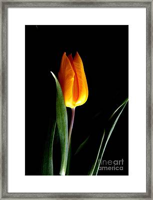 Tulip Fire Framed Print by Valia Bradshaw