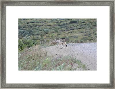 Wolf On A Evening Hunt Framed Print by David Wilkinson