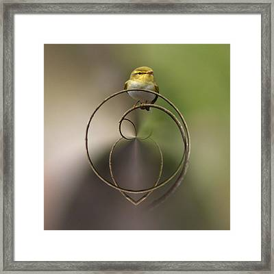 Wood Warbler Framed Print by Jouko Lehto