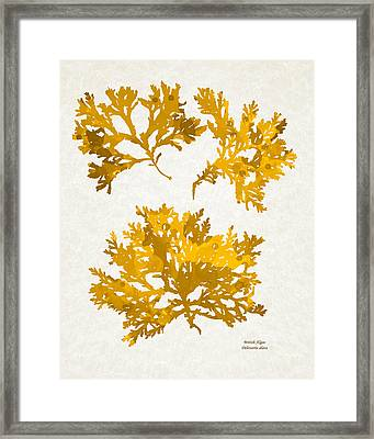 Yellow Gold Seaweed Art Delesseria Alata Framed Print by Christina Rollo