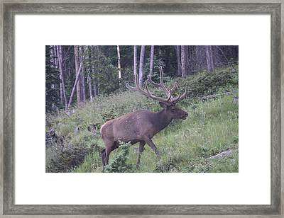 Bull Elk Rmnp Co Framed Print