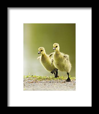 Canada Goose Framed Prints