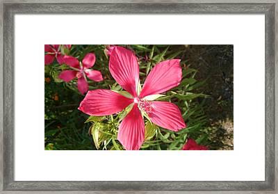 Hibiscus Coccineus Framed Print