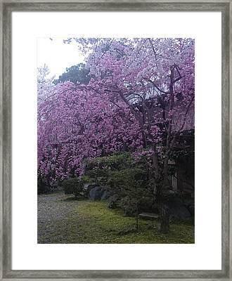 Shidarezakura Mean A Drooping Cherry Tree  Framed Print