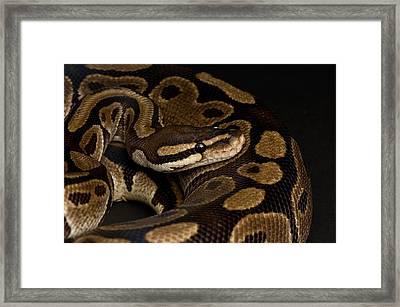 A Ball Python Python Regius Framed Print