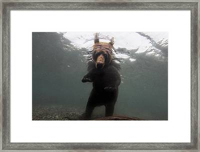A Brown Bear Fishing For Salmon Framed Print