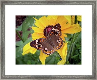 A Common Buckeye  Framed Print