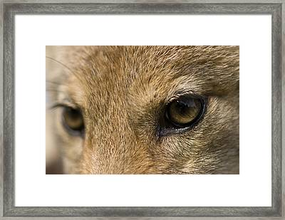 A Coyote At A Wildlife Rescue Members Framed Print by Joel Sartore