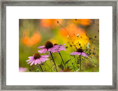Coneflower Symphony Framed Print by Mary Amerman