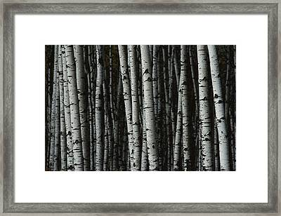 A Forest Of White Birch Trees Betula Framed Print by Medford Taylor