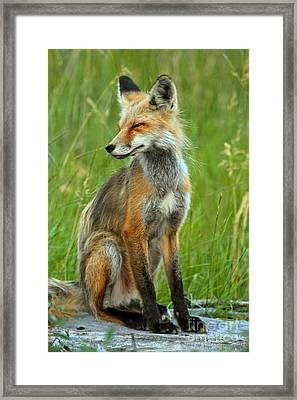 A Foxy Pose Framed Print by Adam Jewell